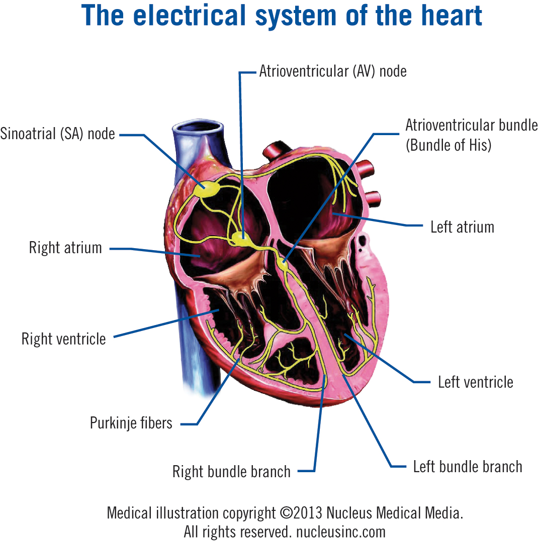 The Electrical System of the Heart