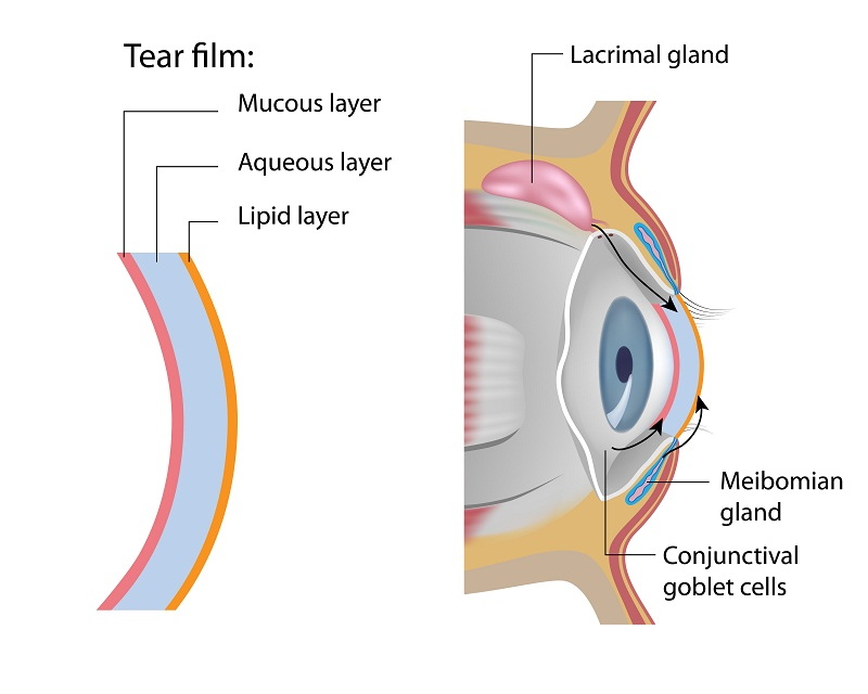Tear film of the eyes