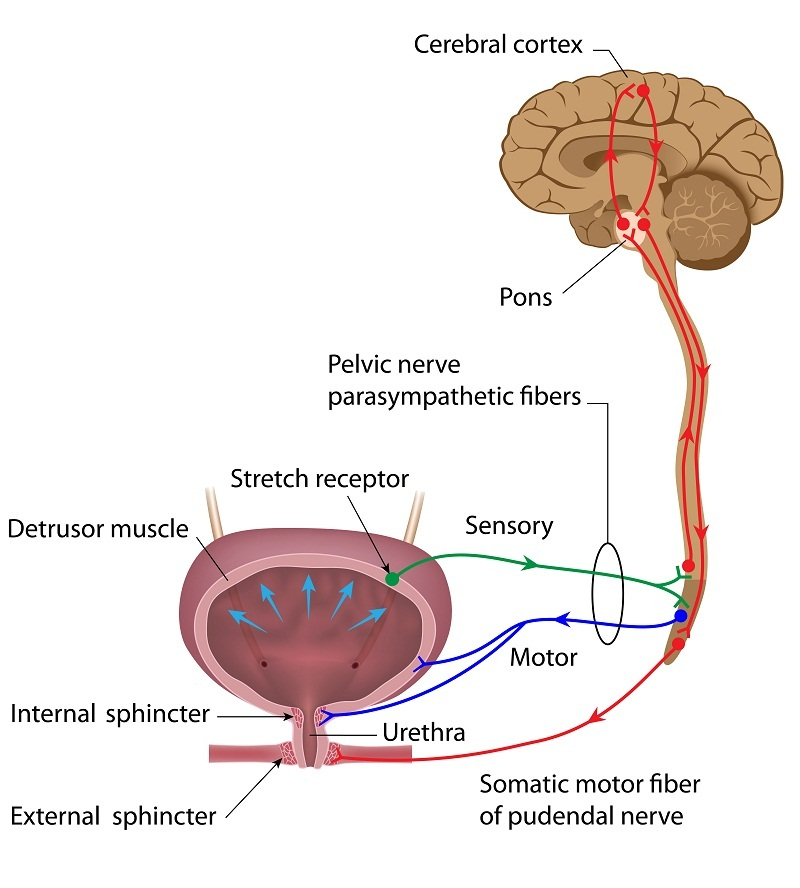Neural control of urination