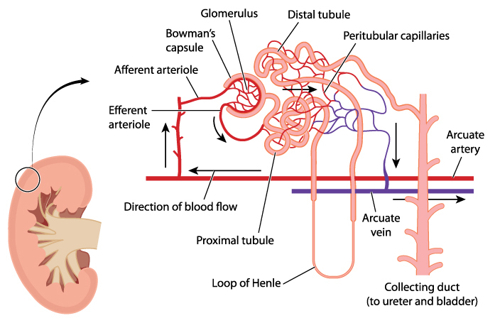How does a nephron work?