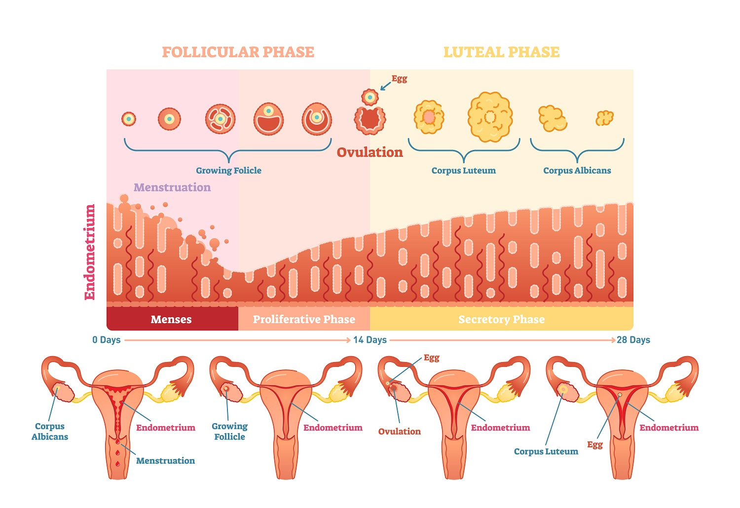 Female sexual cycle