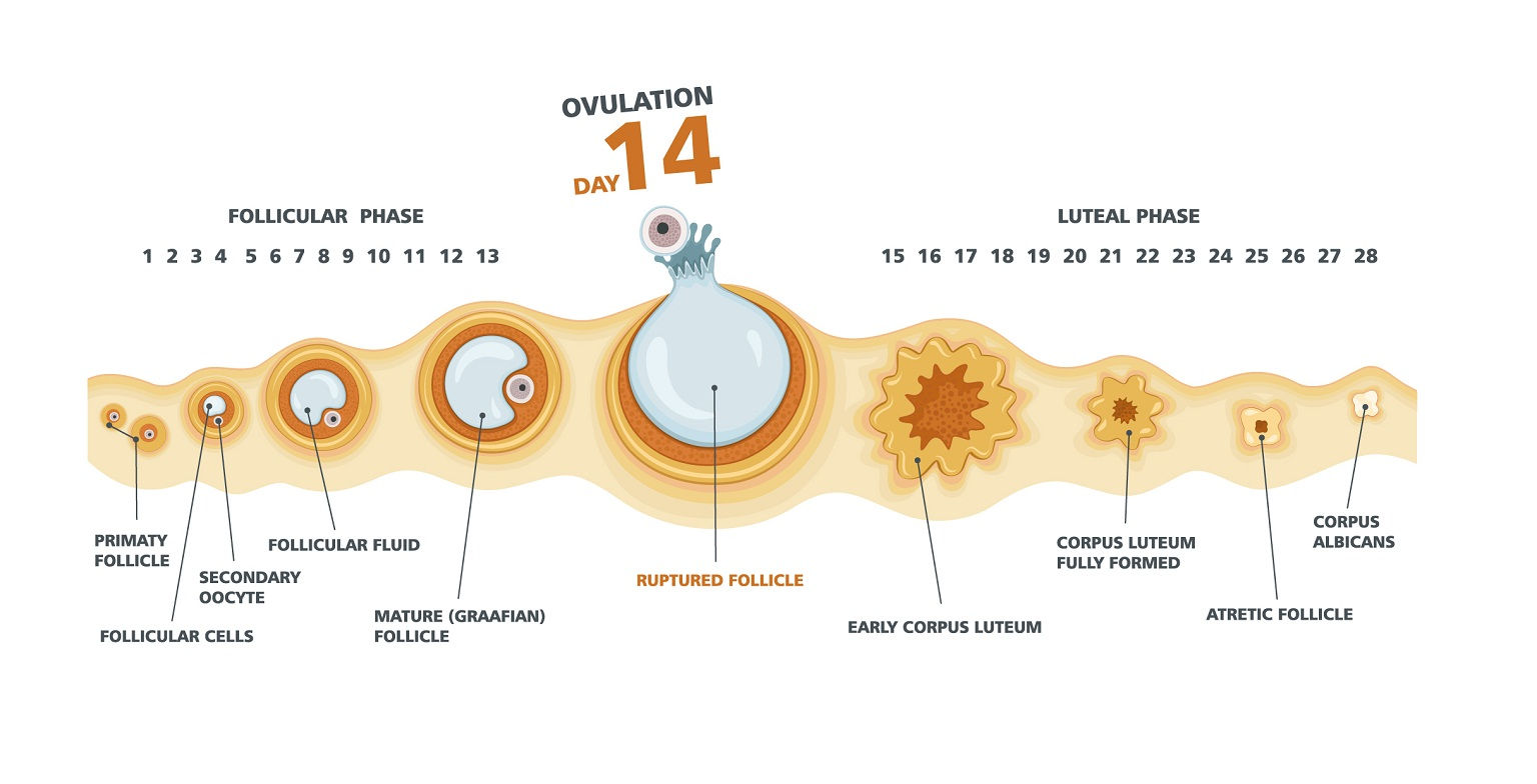 Ovulation chart and female menstrual cycle