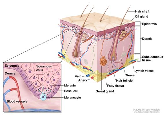 Layers of the skin (melanocyte)