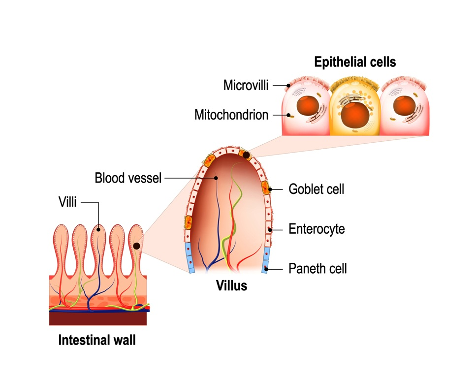 Small intestine and intestinal villi