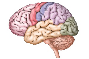 Anatomy and Function of Human Brain