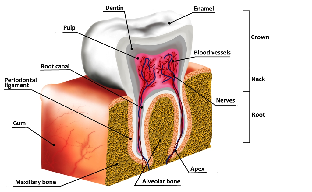 Human tooth decay anatomy diagram
