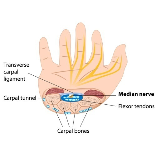 Structure of carpal tunnel