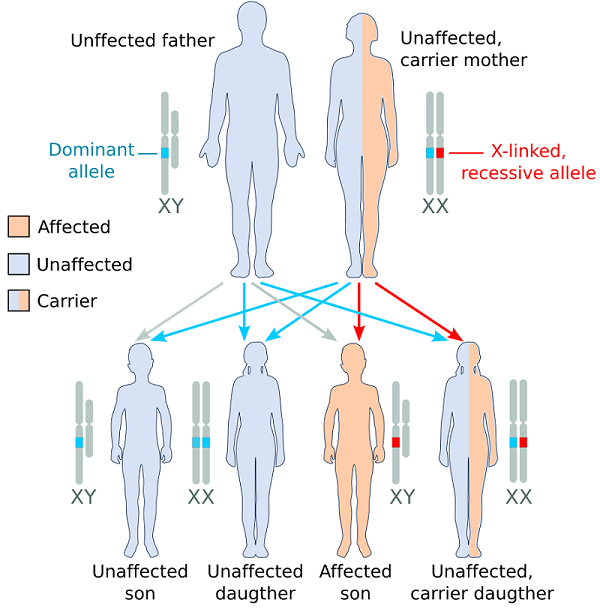 Genetics of Duchenne Muscular Dystrophy