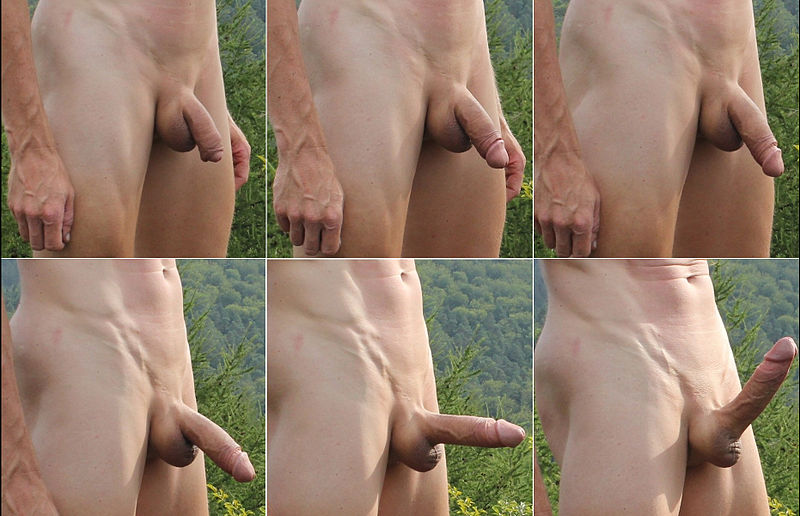 Flaccid and erect human penis