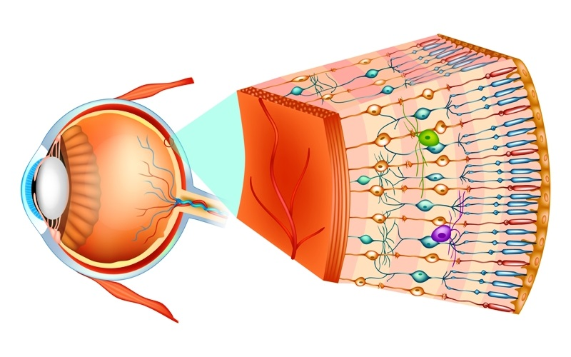Structure of the human eye and organization of the retina and macula