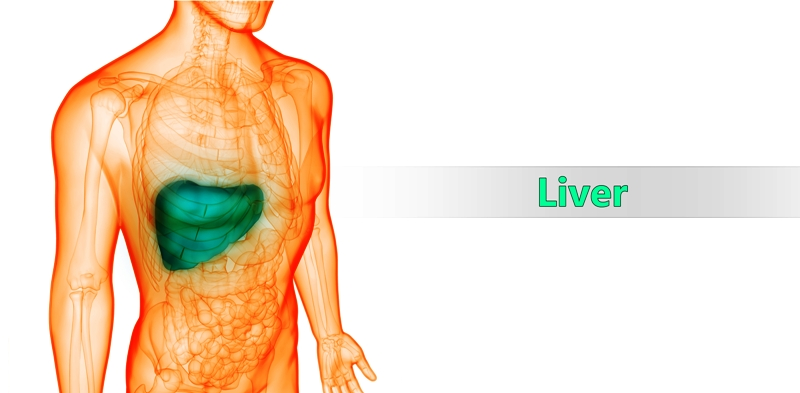 Anatomy and location of liver