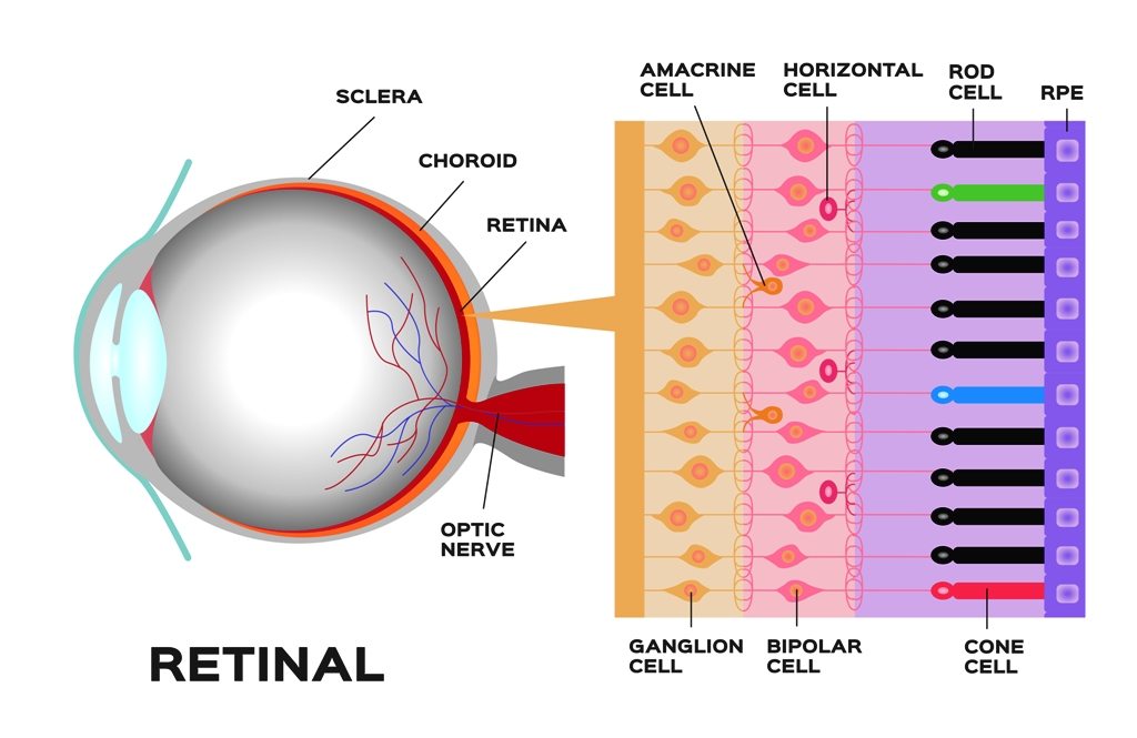 Retinal cells and color pereption