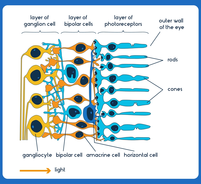 Structure of eye retina