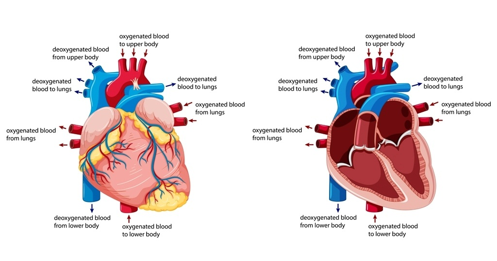 Pathway of blood flow through the heart