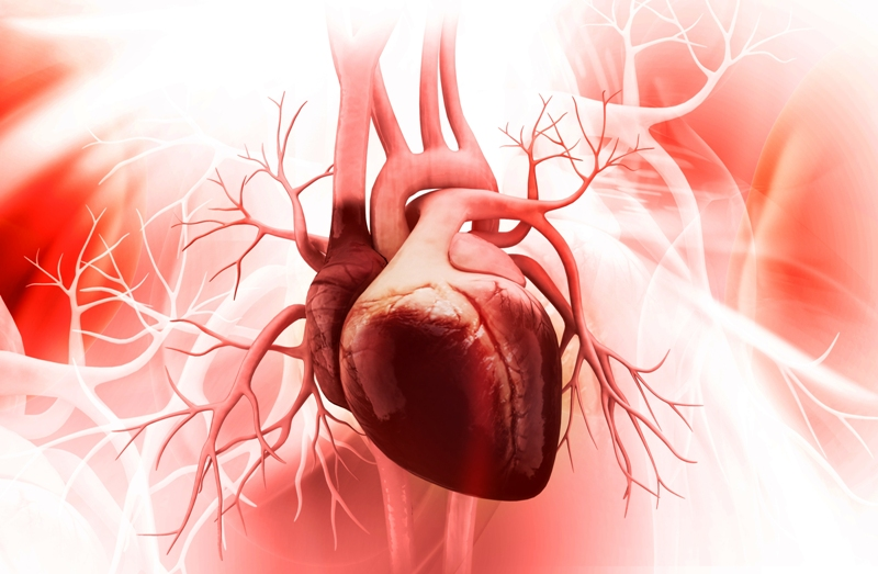 Human heart picture