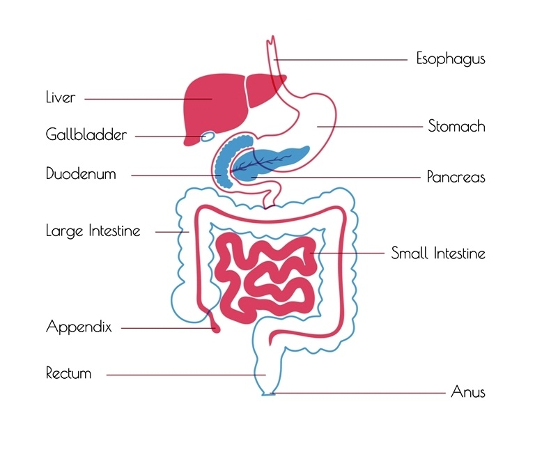 Human digestive system and gallbladder